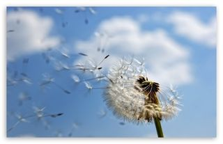 Wish dandelion_wish_2-t2